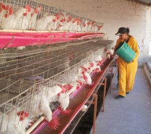 Granja Avícola las Esperanzas durante sus incios